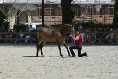 2018.06.21.111 HARAS du PIN - Toma et Krone lusitanien isabelle de la Cie Atao (alainmichot93 (Bonjour à tous - Hello everyone)) Tags: 2018 france frankreich francia frankrijk frança γαλλία франция normandie orne pinauharas harasdupin haras animal mammifère équidé cheval horse pferd caballo cavallo cavalo paard άλογο лошадь lusitanienisabelle krone nikon nikond5100