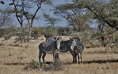 Grevy's Zebras Standing In The Meager Shadow Of The Acacia Tree (Equus grevyi) (Susan Roehl) Tags: kenya2015 lewawildlifeconservancy lewadowns kenya eastafrica grevyszebra equusgrevyi mammal animal outdoors imperialzebra largestzebra mostendangered narrowerstripes largeears sueroehl naturalexposures photographictours lumixdmcgh4 panasonic 100300mmlens handheld grassland slightlycropped coth coth5 ngc