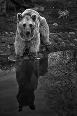 Syrian Brown Bear (Rich3012) Tags: heidelberg zoo germany deutchland syrian brown bear black white reflection