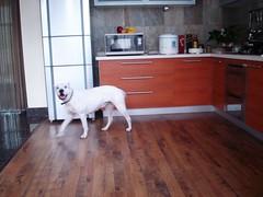 DSC05530 (meginsilvis) Tags: argentino dogo mastiff friendly cheerful humble