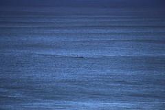 IMG_3621 (gervo1865_2 - LJ Gervasoni) Tags: surfing with whales lady bay warrnambool victoria 2017 ocean sea water waves coast coastal marine wildlife sealife blue photographerljgervasoni