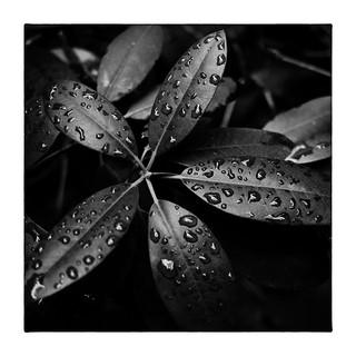Rhododendron & Rain