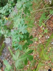 Acer sp. Aceraceae - maple in Giessbach 1 (SierraSunrise) Tags: plants trees aceraceae acer maple switzerland swiss europe alps flowers leaves foliage aceaeaceae