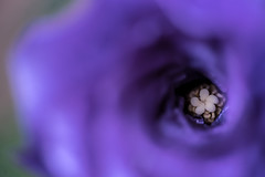 Mini in Minimalism (Amy Maher) Tags: minimalist minimal dof 105mm nikond750 mini insidetheflower purple macro flower miniinminimalism smileonsaturday