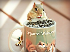 ~So many seeds, so little time... (nushuz) Tags: mug squirrelwhisperer porch sunflowerseeds cantbelieveiatethewholething chippie chipmunk adorable oneofmy4 iidthembytheirtails dale