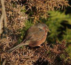 408A4035 (bonser54) Tags: rspb arne dorset dartford warbler warblers heath wildbirds wildlife british birds