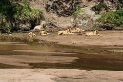 Maasai Mara_13sep18_14_familie de lei (Valentin Groza) Tags: maasai mara kenya africa safari wildlife lions lei sand river