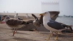 Seagulls 11 (pan_orama) Tags: marokko maroc morocco essaouira beach harbour seagulls fish sun color travel