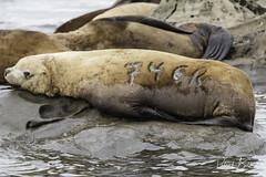 steller sea lion 746R-7159 (pmbell64) Tags: capitalg britishcolumbia canada ca