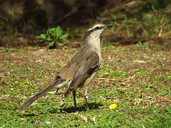 Mockingbird - Calandria (Gabi Lamberti) Tags: mockingbird calandria nature argentina canon sx540hs wildlife garden backyard jpeg