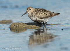 Dunlin (Ponty Birder) Tags: g b wheeler garywheeler pontybirder birds wales waders