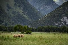 French sheeps (Andrés Gallego) Tags: nikon d750 france sheep sheeps ovejas montañas mountains pirineos composition green colours verde colores