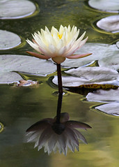 IMG_0562edited.psd (sherri_lynn) Tags: waterlilies lily pond lilypond lilypads water garden reflections