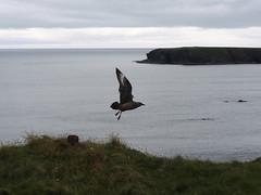Great skua (bonxie), Stronsay, Orkney (andysuttonphotography) Tags: great skua bonxie stronsay orkney bird flying takeoff flight wings sea seabird island stercorarius coast coastal scotland scottish
