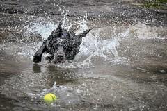 Ball Hunter (Anthony de Schoolmeester) Tags: stan d500 nikon westwales wales pembrokeshire water sea beach amroth runningdog ball tennisball splash wetdog blueroan cockerspaniel