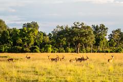 Quiet mood in Golden late afternoon light.Group of male impalas (odileva) Tags: impala antelopes june kenia masaimaranp nature transmara riftvalleyprovince kenya ke