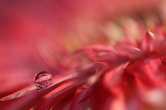 Heat (Macro-photography) Tags: macro canon colors water drops nature closeup petals floralart reflection bokeh droplet pastel red flower garden daisy macrophotography onlyflowers