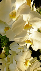A Stem of Orchids (Cornishcarolin. Stupid busy!! xx) Tags: cornwall httpswwwedenprojectcom nature flowers plants orchids