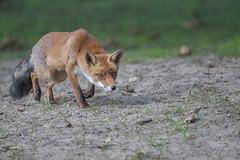 R18_2198 (ronald groenendijk) Tags: cronaldgroenendijk 2018 diereninhetwild rgflickrrg animal copyrightronaldgroenendijk fox nature natuur natuurfotografie netherlands outdoor ronaldgroenendijk vos vulpis wildlife