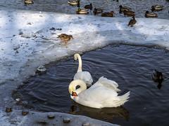 Scattering in winter (Adam Nowak) Tags: swan łabądź lód woda