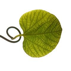 TheSwingingOfMyHeart (Lothbrok'sYen) Tags: heart lothbrocksyen swinging leaf minimalistic