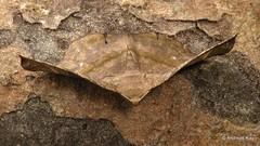 Dead leaf moth, Hygrochroma sp., Geometridae (Ecuador Megadiverso) Tags: andreaskay birdwatcherslodge ecuador geometermoth geometridae hygrochromasp leafimitating mindo moth