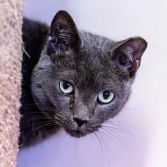 pawsatlanta02Sep20180622.jpg (fredstrobel) Tags: pawsatanta atlanta places pets animals ga usa pawscats cats decatur georgia unitedstates us