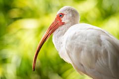 White Ibis, Orange County, FL [Explore 4 September 2018] (Blackrock23) Tags: ibis whiteibis nikond500 nikon300mmpf florida wadingbird