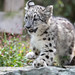 Snow Leopard Kitten Running Over Rock