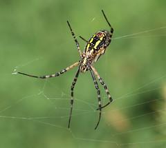 Spider (vischerferry) Tags: spider spiderweb