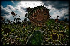 End of Summer... (SHADOWY HEAVEN Aya) Tags: 08081870s0025 北海道 hokkaido 日本 ファインダー越しの私の世界 写真好きな人と繋がりたい 写真撮ってる人と繋がりたい 写真の奏でる私の世界 coregraphy japan tokyocameraclub igers igersjp phosjapan picsjp 空 雲 dark 向日葵 ひまわり ヒマワリ sunflower