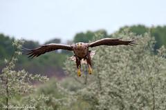 Aquila di mare _025 (Rolando CRINITI) Tags: aquila aquiladimare uccelli uccello birds ornitologia rapaci periprava tulcea deltadeldanubio ultimafrontiera romania natura