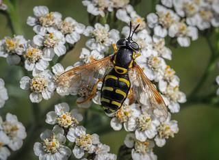 Hoverfly sp. - Chrysotoxum festivum