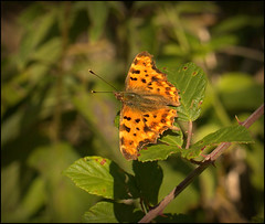 Comma Butterfly (catb -) Tags: france saintgeniès butterfly macro insect comma polygoniacalbum