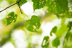 Holes (Future-Echoes) Tags: 4star 2018 bokeh depthoffield dof green holes leaf leaves nature sparkeywood wickhambishops woodland witham england unitedkingdom gb