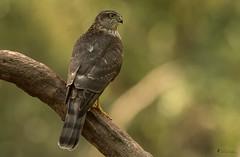 weiblicher 1jähriger Sperber (normen.nikon) Tags: d500 200500 nikon natur wildlife bird vogel sperber greifvogel tiere wald ansitz