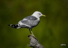 Mew Gull (jt893x) Tags: 150600mm bird d500 gull jt893x nikon nikond500 seabird sigma sigma150600mmf563dgoshsms coth alittlebeauty thesunshinegroup laruscanus mewgull breeding coth5 sunrays5