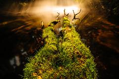 Spooky Log [09.06.18] (Andrew H Wagner | AHWagner Photo) Tags: 5dmk3 5d3 5dmkiii 5dmarkiii 5dmark3 canon eos 1635l 1635mm f4 f4l is usm ultrawideangle wideangle outdoors explore exploration exploring hiking sun rays flare sunlight sunny sunshine goldenlight golenhour tree nature landscape summer outside log fallen grass greenery longexposure fog foggy water maryland md gunpowderfalls