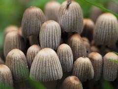crowds (Johnson Cameraface) Tags: 2018 august summer olympus omde1 em1 micro43 mzuiko 60mm macro f28 johnsoncameraface mushroom fungi toadstool