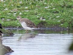 Ruff (_jons_) Tags: birding birds birdingphotography birdwatching birdphotography wildlife wildlifephotography nature naturephotography luntmeadows