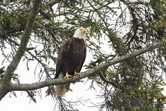 Bald Eagle (jlcummins - Washington State) Tags: bird baldeagle