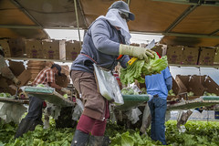 A Crew of Farm Workers Harvesting Lettuce (baconphotosandstories) Tags: farmworkers labor work agriculture lettuce headlettuce grower vegetables farmlabor darrigo box boxes packing shipping harvest loading cutting cutters machine lettucemachine salinas ca usa