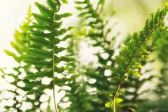 Forest of Ferns (Kurt Evensen) Tags: augustlight ferns sunlight green flora plants nature