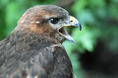 Calling Buzzard. (pstone646) Tags: buzzard bird nature wildlife animal fauna bokeh closeup birdofprey raptor beak calling