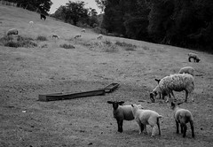 Black and White Sheep (nathan.caesar) Tags: sheep family animals farm lamb field empty desolate kidderminster babies black white bw sky forest trees skyline landscape