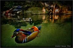 Mandarin Duck... (SHADOWY HEAVEN Aya) Tags: 1310197ha1136 日本 ファインダー越しの私の世界 写真好きな人と繋がりたい 写真撮ってる人と繋がりたい 写真の奏でる私の世界 coregraphy japan tokyocameraclub igers igersjp phosjapan picsjp duck