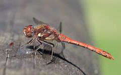 Common darter m (Catcott Heath) (Steve Balcombe) Tags: insect dragonfly catcott heath somerset levels uk