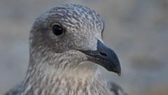 young herring gull (kalakeli) Tags: jungmöwe gulls möwen vögel birds grömitz august 2018 larusargentatus silbermöwe