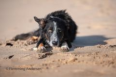 Sand boy (Flemming Andersen) Tags: sand pet nature dog bordercollie outdoor frisbee hund animal
