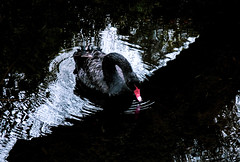 The Black Swan and White Reflections (Steve Taylor (Photography)) Tags: bird swan blackswan black white red water lake newzealand nz southisland canterbury christchurch reflection diagonal ripple